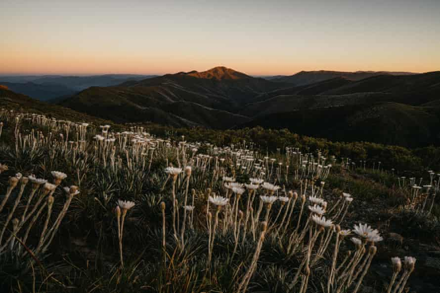 Throughout spring and summer, the Australian Alps are studded with wildflowers.