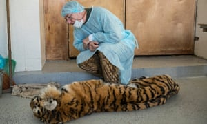 Fomenko examines a female tiger brought in to the Animal Diseases Diagnostics centre in Ussurysk. The tiger, a little over 2 years old, was found dead under a vehicle near the town of Luchegorsk.