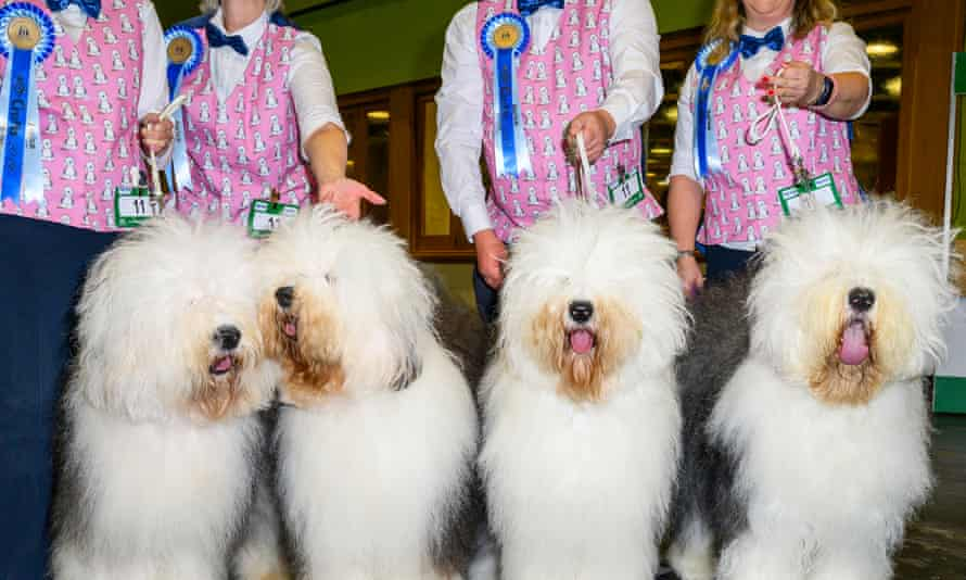 Every dog will have its day … A chorus line of sheep dogs at Crufts.