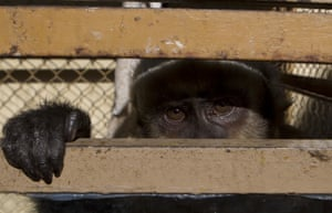 La Paz, Bolivia A capuchin monkey peers from a cage at a police station after being recovered from a illegal vendor's street stall. The monkey, which cannot legally be kept as a pet, will be taken to a refuge where it will be rehabilitated before being released back into into its natural habitat, according to police