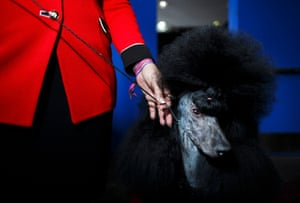 A Standard Poodle dog named 'Marie' waits for judging