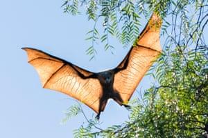 A grey-headed flying fox gliding through the air.