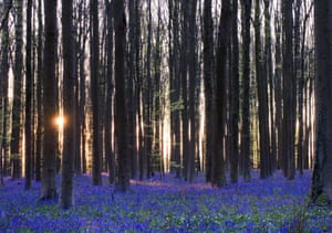 The sun rises over a carpet of bluebells, or wild hyacinths, in the Hallerbos (Halle forest) in Belgium.