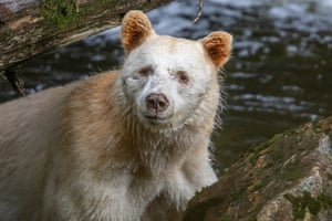 A spirit bear in British Columbia. A recent study revealed that the white bear is rarer and more vulnerable than previously thought.