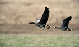 Numbers of migratory white-fronted geese have fallen 98% in the last 30 years due to warmer