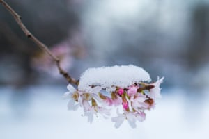 Snow covers a branch of a blooming cherry tree in Cologne, western Germany