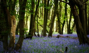 Bluebells flower in Heartwood Forest near St Albans, where 600,000 trees were all planted by volunteers.