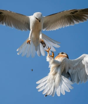 Highly commended, behaviour: birdsUp for grabs by Jack Zhi, USIn southern California, US, a juvenile white-tailed kite reaches to grab a live mouse from the clutches of its hovering father.