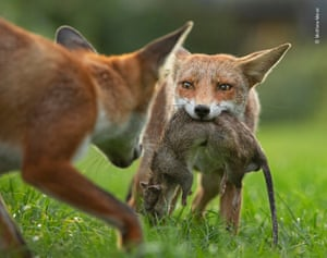 With a determined stare, a young fox holds tight to her trophy - a dead brown rat - as her brother attempts to take it off her