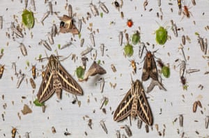 A light-flooded sheet in Arizona's Chiricahua Mountains is dominated by large white-lined sphinx moths and green stink bugs