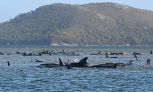 Hundreds of whales in a harbour in Tasmania