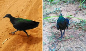 A Nicobar pigeon – native to islands in the Indian and Pacific oceans, has been found on Australian mainland for the first time