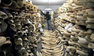 A Zimbabwe National Parks official inspects the stock the country's ivory stockpile at the Zimbabwe National Parks Headquarters in Harare