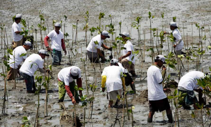 Balinese men plant mangrove tree seeds during a tree planting campaign in Benoa, Bali, Indonesia.