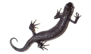 a great crested newt.