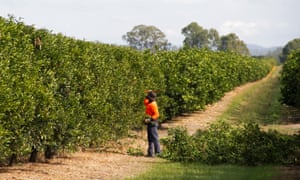 A seasonal worker prunes citrus trees on a farm in Queensland.