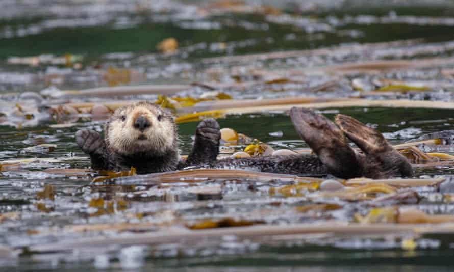 Be an otter spotter: A northern sea otter (Enhydra lutris kenyonii) floating in a kelp bed in the Inian Islands, Tongass National Forest, Alaska.