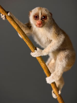 Bengal slow loris – vulnerable An arboreal, nocturnal species that inhabits tropical evergreen rainforest, semi-evergreen forest, and moist deciduous forest. Vulnerable due to loss of habitat and severe pressures from hunting.