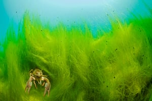 <strong>GDT European wildlife photographer of the year, October</strong><br>Runner-up underwater world: <em>Intruder</em> by Wahrmut sobainsky (Germany)<br>'The American crayfish, an invasive species, was introduced from North America to central Europe around 1890. It not only drives out the local crayfish species in frightening measures, but also passes on the crayfish plague to which it is immune. This predominantly nocturnal species is mostly found sitting on visually unattractive sand or mud; much to the photographer's joy, this one here obviously prefers the greenery of a German lake among tiny water snails.'