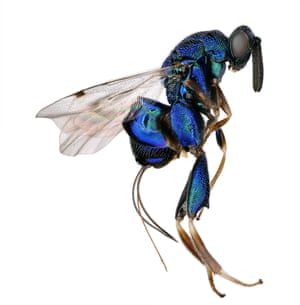 torymid wasp's (Diomorus zabriskii) colour