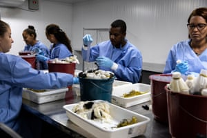 The breeding section at the World Mosquito Program (WMP) in Brazil produces mosquitoes that carry Wolbachia bacteria – this means they have a reduced ability to transmit viruses like Zika, dengue, chikungunya and yellow fever. Wolbachia are naturally occurring bacteria found in 60% of all insect species, and are safe for humans, animals and the environment.