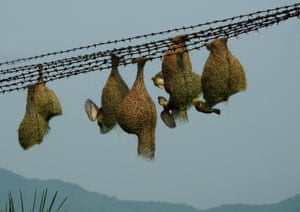 Odisha, IndiaWeaver bird nests hang from the fencing wire of a high tension electrification tower in Ganjam district in the eastern Indian state of Odisha.