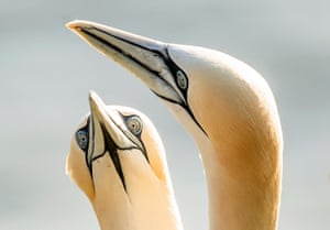 Bempton, UKGannets nest at the RSPB nature reserve at Bempton Cliffs in Yorkshire, as more than 250,000 seabirds flock to the chalk cliffs to mate and raise their young