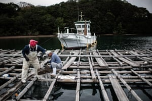 Farmers harvest oysters in Shima