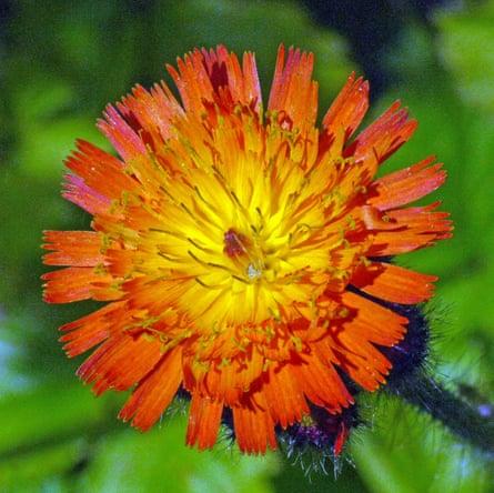 Flower of fox-and-cubs hawkweed, Pilosella aurantiaca.