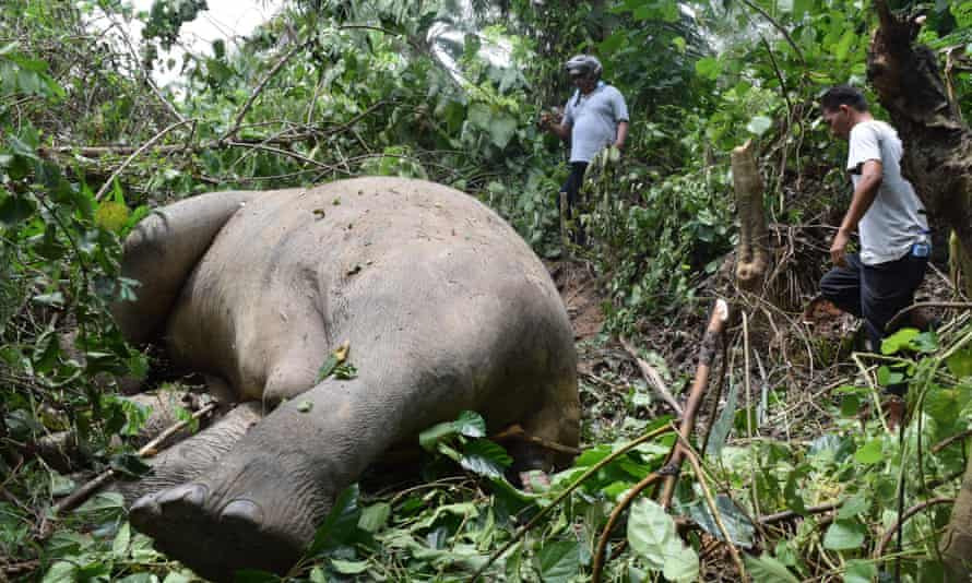 A Sumatran elephant killed by poachers in East Aceh, Indonesia.