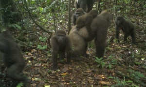 The group of Cross River gorillas spotted in the Mbe mountains of Nigeria