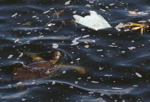 A turtle swims amongst plastic in Guanabara Bay, Rio de Janeiro, Brazil. With an area of 400sq km, the bay is contaminated with domestic and industrial wastewater, which the authorities have been promising for years to clean up.