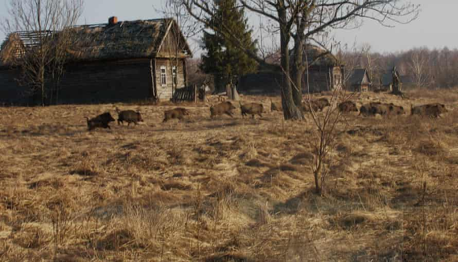 Wild boar in a former village in the exclusion zone