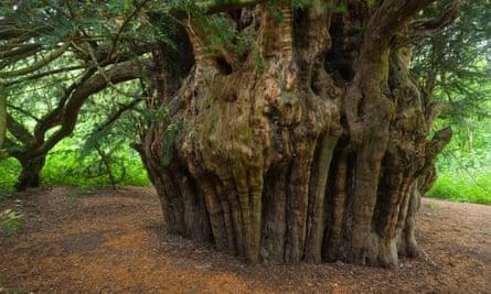 Ankerwycke or Magna Carta yew (Taxus baccata) near Runnymede, Windsor, a 2,000-year-old tree