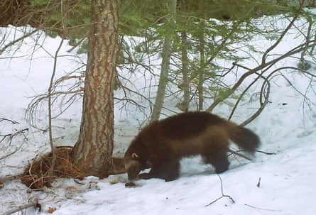 A mountain wolverine in the Tahoe national forest, a rare sighting of the animal in California.