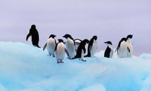 Penguin numbers declined sharply after an iceberg became grounded in Commonwealth Bay.