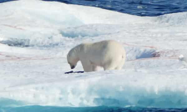 A polar bear, photographed by the author.