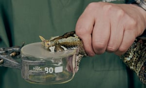 Poison is extracted from a living snake.