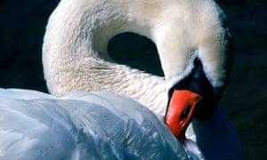 'Because the swan isn't / drawn like an ear.'