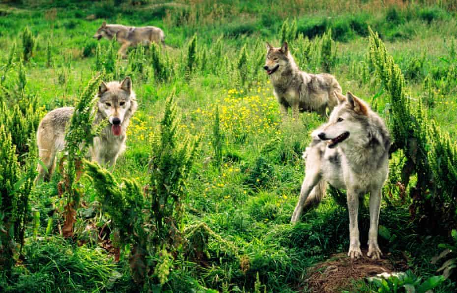 Eurasian grey wolves at the Highland Wildlife Park in Scotland.