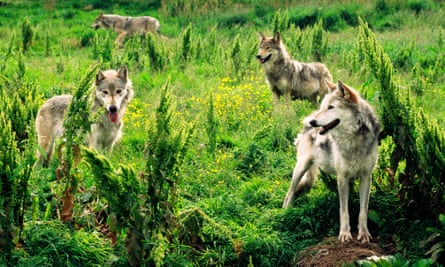 Eurasian grey wolves at the Highland Wildlife Park, Kingussie, Scotland.