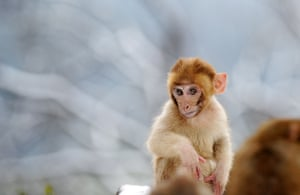 A young wild macaque monkey in the snow in a park on Qianling Mountain in China's central Guizhou province.