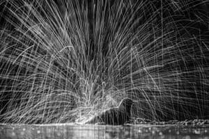 Action, joint winner: Siegmar Bergfeld, 'Bathing blackbird' (Hungarian nature reserve)