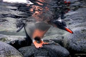 A gentoo penguin in Port Lockroy on the Antarctic peninsula