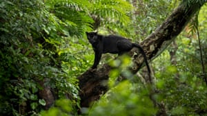 A panther on a tree