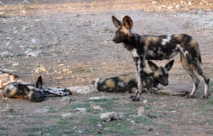 African wild dogs at a private game lodge in Limpopo-Lipadi, Botswana
