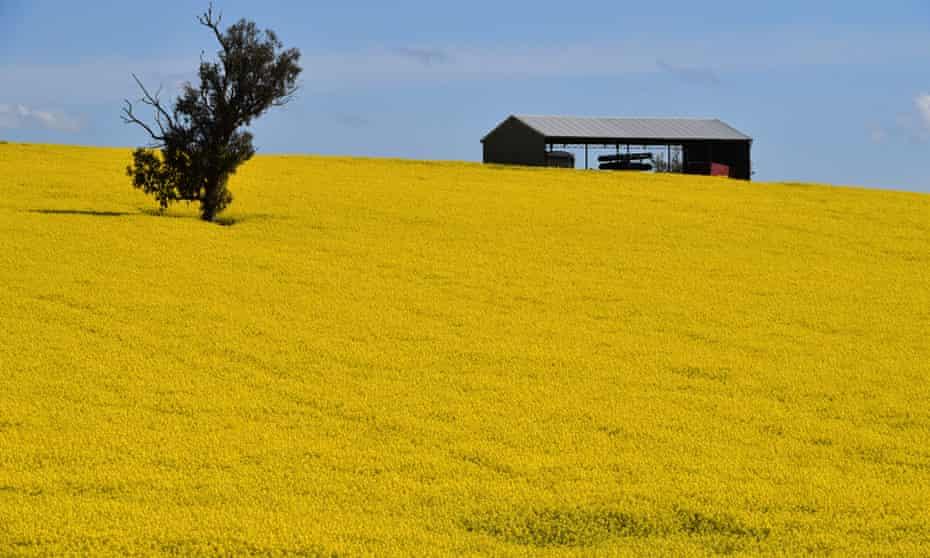 Canola crops near Harden, NSW