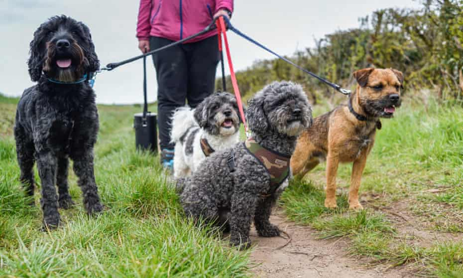 Dog walker exercises dogs