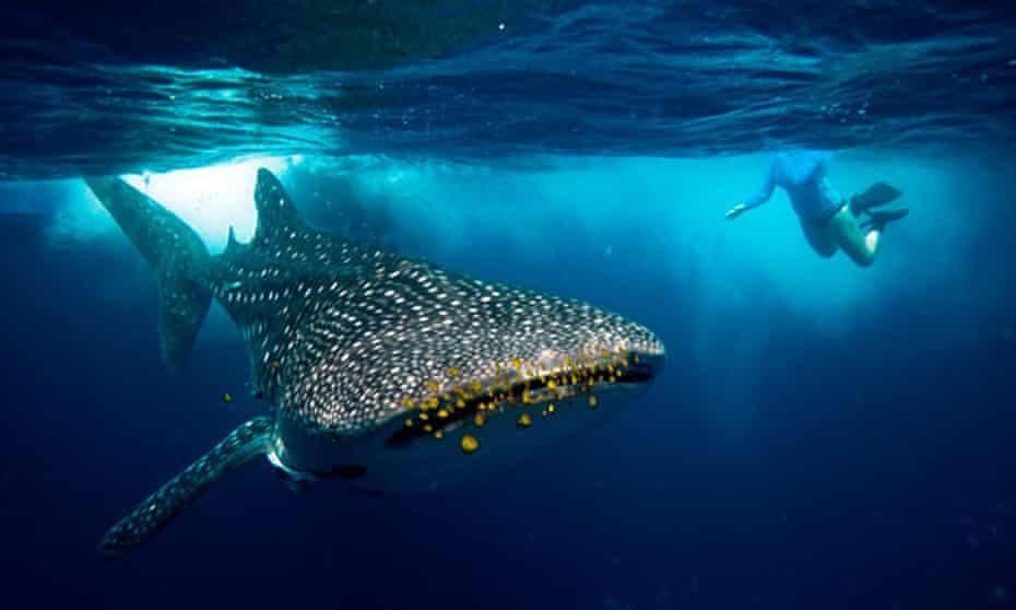 A snorkeler encounters a whale shark (Rhincodon typus).
