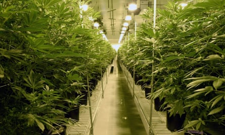 Only about 1% of cannabis dispensaries in the US are owned by black people … a marijuana farm in Nevada